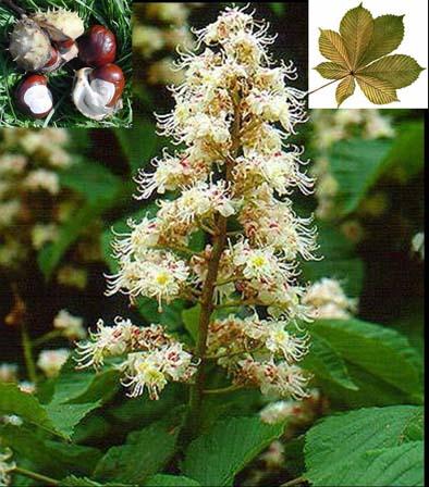 divlji-kesten-hippocastanaceae