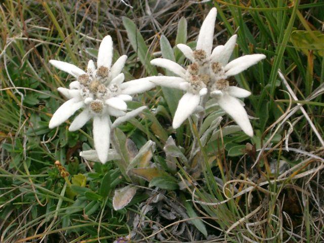 19-edelweiss-berguen-roessli-ch