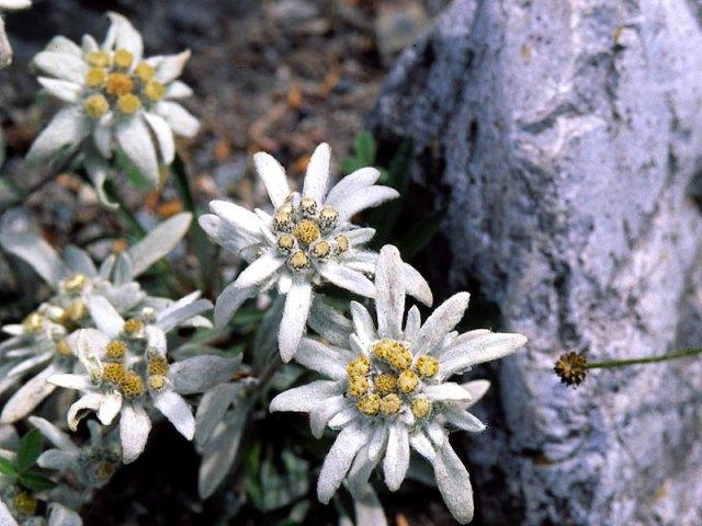 floare-de-colt1