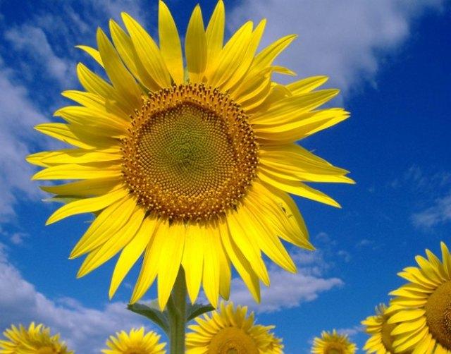 20071116180849_floarea soarelui1