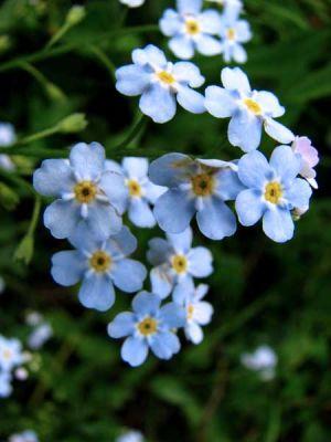 normal_flori-albastre