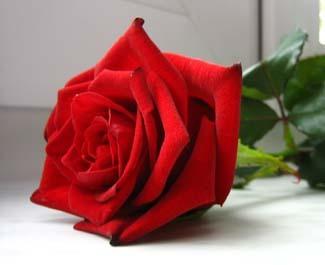 55. Gönülçelen -Inima furata - Heart Stealer - General Discussions - Comentarii - Pagina 3 Trandafir-rosu1
