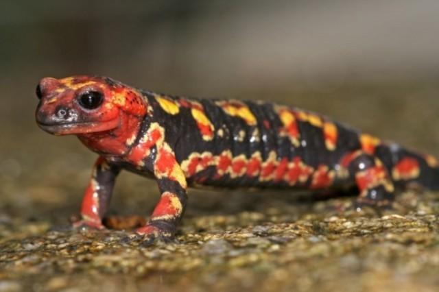 Salamandra-de-foc-Salamandra-salamandra-cu-pete-rosii-portocalii-650x433